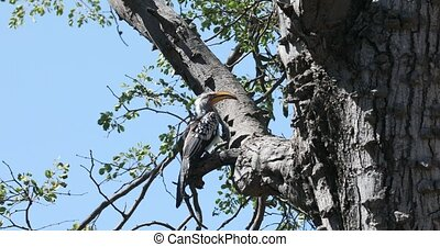 bird southern red-billed hornbill (Tockus rufirostris) looking for food. Nambwa reservation, Namibia, Africa wildlife