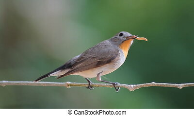 bird Red-throated Flycatcher (Ficedula albicilla) eating a worm in tropical forests