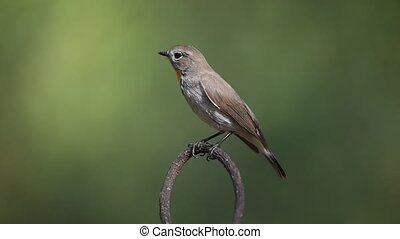 Bird (Red-throated Flycatcher) on a tree - Bird...