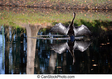 Bird reflection - A bird on a pond with wings spread...