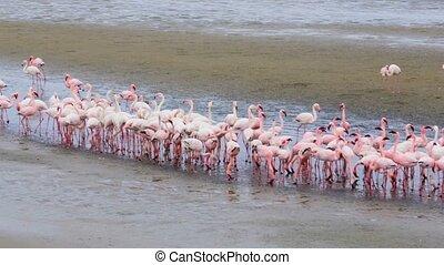 bird Rosy Flamingo colony in Walvis Bay, Namibia, Africa...