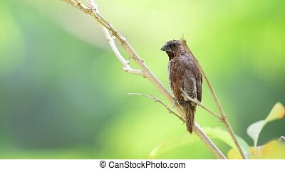 Bird (Scaly-breasted Munia) in a nature wild - Bird...