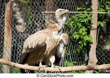 bird scavenger vulture