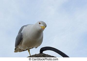 bird Seagull with yellow beak looking at camera