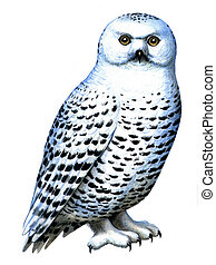 Bird Snowy owl - Colored drawing on the paper bird Snowy owl...