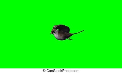 bird sparrow is flying - green screen