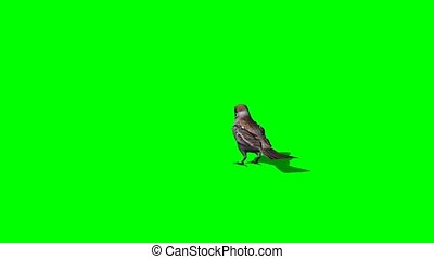 bird sparrow jumps - 3 different views - green screen
