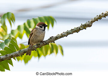 Bird Sparrow On Branches Of Bushes, Common Sparrow On The Branches Of Currants.