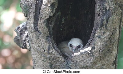 Bird spotted chick owl inside nest in tree hole - Long shot...