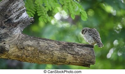 Bird (Spotted owlet, Owl) in a nature wild - Bird (Spotted...