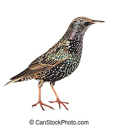 Bird Starling isolated on white background, Sturnus...