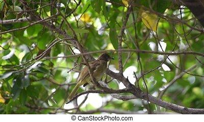 Bird (Streak-eared bulbul) on tree in nature wild - Bird...