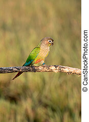 Bird, Sun conure parrot ,pet