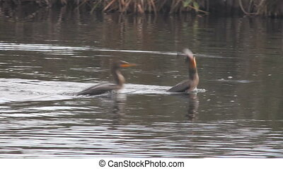 Bird Swallowing Fish - An anhinga attempts to swallow a huge...