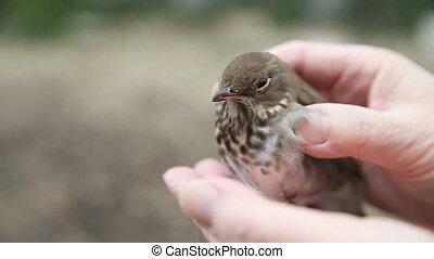 bird that flew into window - stunned immature bird being...