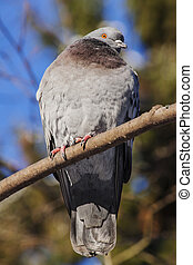 Bird. The pigeon sits on a branch