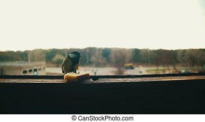Bird Titmouse Eats Bread on a Wooden Window Sill. Slow Motion