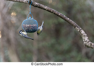 bird titmouse with a yellow belly, Titmouse on the branch.