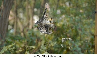 Bird trapped in net,struggling to die in green forest like...