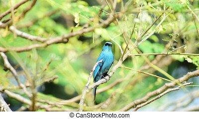 Bird (Verditer Flycatcher) on tree in nature wild - Bird...