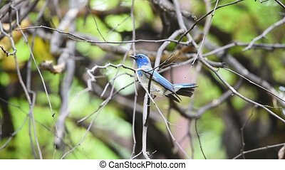 Bird (Verditer Flycatcher) on tree in nature wild - Bird...