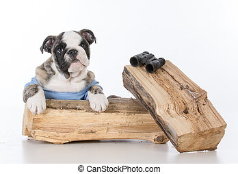 bird watching dog - bird dog bulldog with binoculars on...