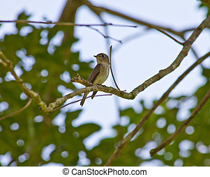 Bird watching in forest, Taiga Flycatcher     in nature