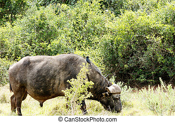 Bird watching the buffalo standing and eating grass.