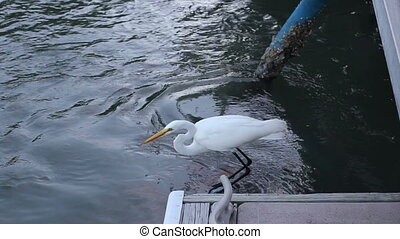 White Heron fishing Florida - Bird White Heron fishing...