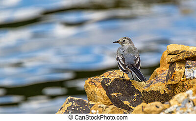 Bird white wagtail on a stone against the water