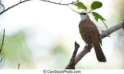 Bird (Yellow-vented Bulbul) on a tree - Bird (Yellow-vented...