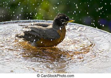 A robin having a birdbath.