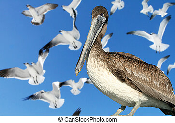 Immature brown pelican with seagulls in the background