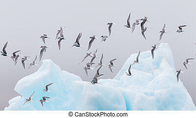 Birdlife in Jokulsarlon, a large glacial lake in Iceland -...