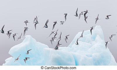 Birdlife in Jokulsarlon, a large glacial lake in southeast Iceland