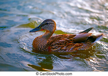 Birds and animals in the wild. A beautiful duck is swimming ...