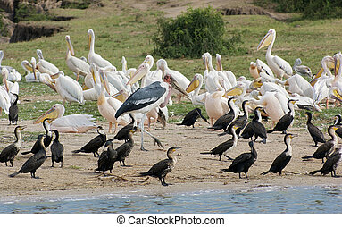 lots of various birds in the Queen Elizabeth National Park in Uganda (Africa) in sunny ambiance