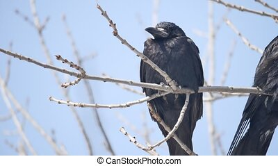 Birds black Crow on outdoors the branches of an old tree....