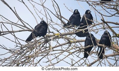 Birds black Crow on the branches of an old tree. outdoors...
