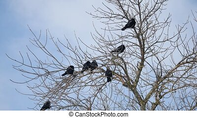 Birds black Crow on the branches of an old tree. Silhouettes...