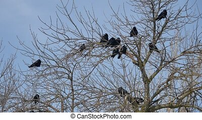 Birds black Crow on the branches of an outdoors old tree....