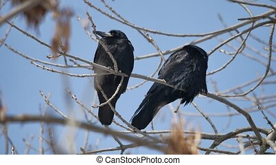 Birds black Crow on the branches of outdoors an old tree....