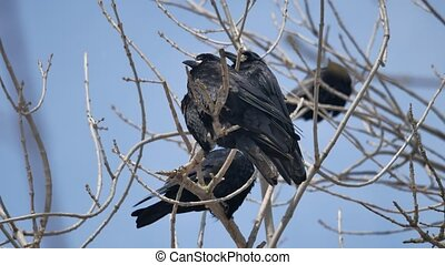 Birds black Crow on the branches outdoors of an old tree....