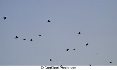 birds circling in the sky, a flock autumn of crows. raven...
