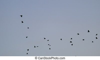 birds circling in the sky, a flock of autumn crows. raven birds