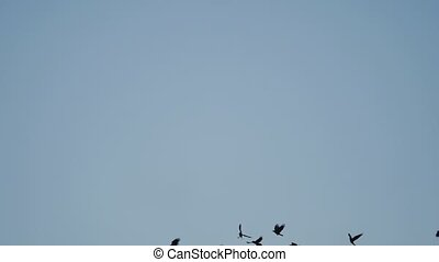 birds circling in the sky, a flock of crows. autumn raven birds