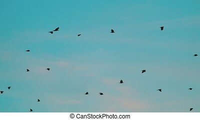 birds circling in the sky a flock of crows. birds flock a lot in the sky circling. birds a lot of crows flock concept on a blue sky lifestyle background