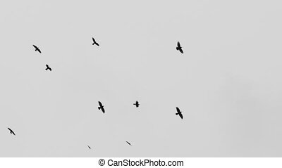 birds circling in the sky, a flock of crows. gray concept crows birds