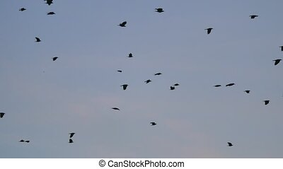 birds circling in the sky, a flock of crows. raven autumn birds