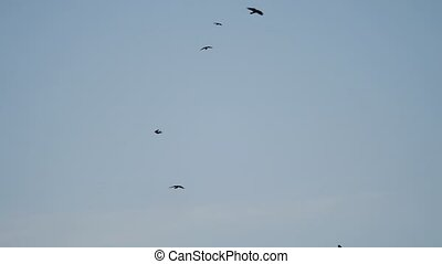 birds circling in the sky, a flock of crows. raven birds autumn